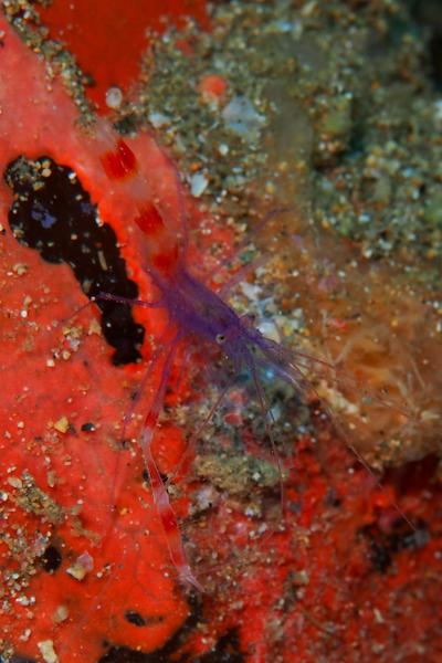 Violet boxer shrimp cap