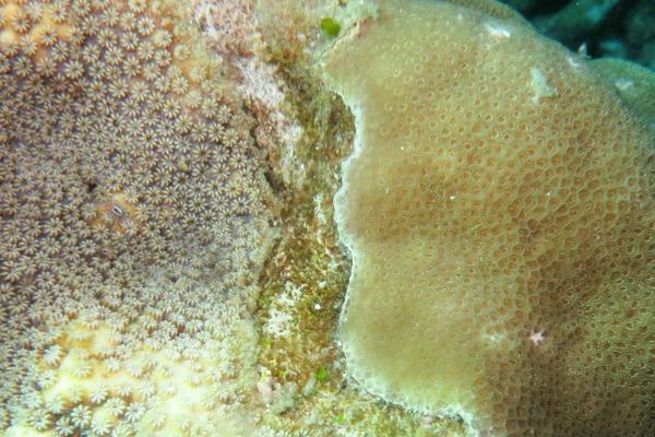 サンゴの戦い