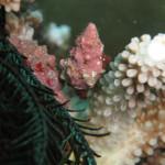 サンゴを食べるレイシガイダマシ