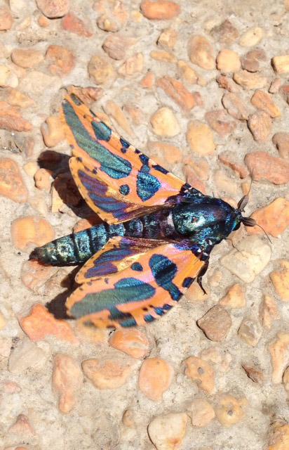 メタリックな蛾