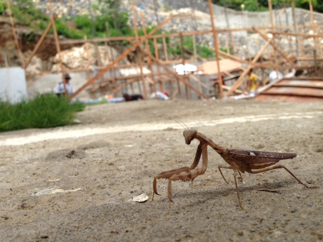 工事現場のカマキリ