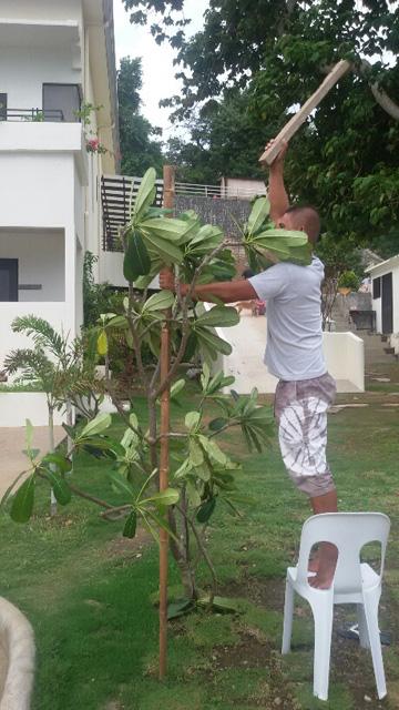 プルメリアに添え木