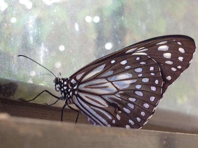 ダイニングの蝶