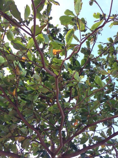 タリサイの木