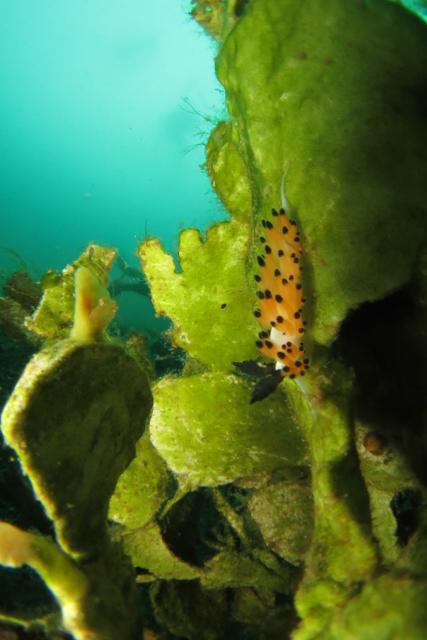 トトメレンズ写真ツガルチゴミノウミウシ