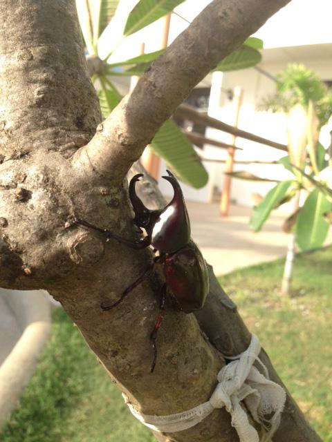アニラオのカブトムシ