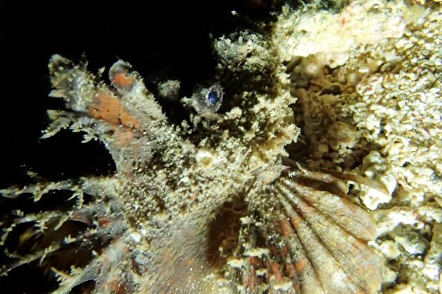 ナイトダイビングヒメオニオコゼ生態写真