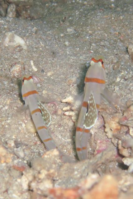 ニチリンダテハゼペア生態写真