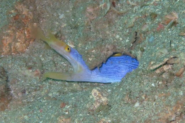 ハナヒゲウツボ生態写真
