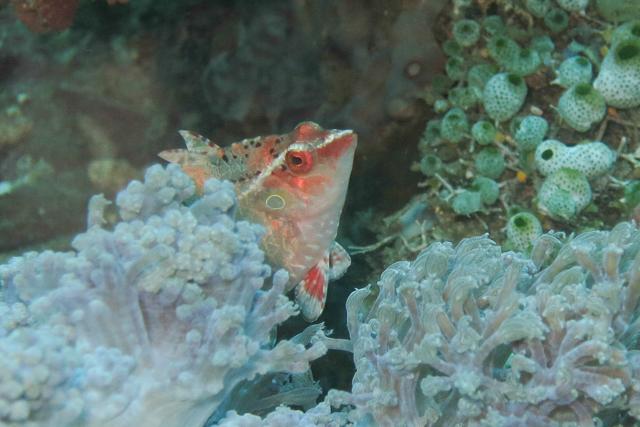 クリプティックラス生態写真