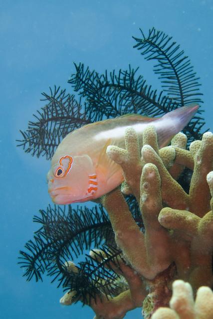 メガネゴンベ生態写真