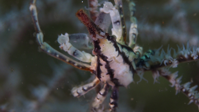 ナカザワイソバナガニ生態写真