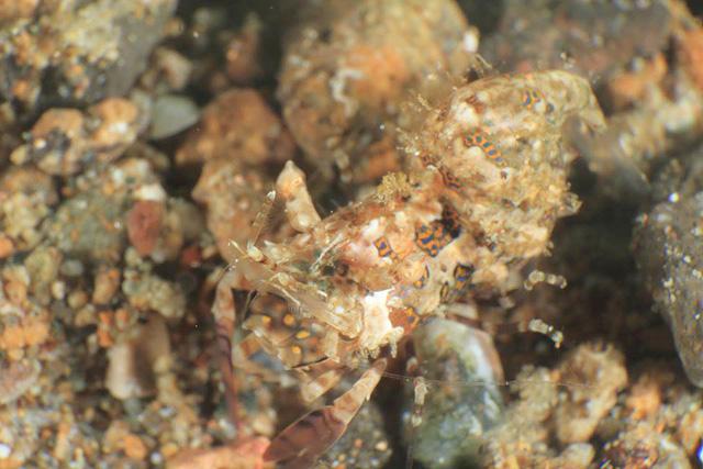 サガミツノメエビ生態写真
