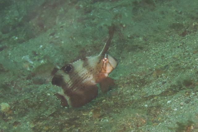 テンス幼魚