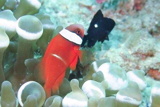 ハマクマノミ幼魚最終ステージ