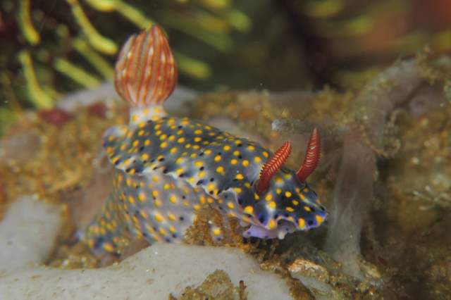 hypselodoris sp2