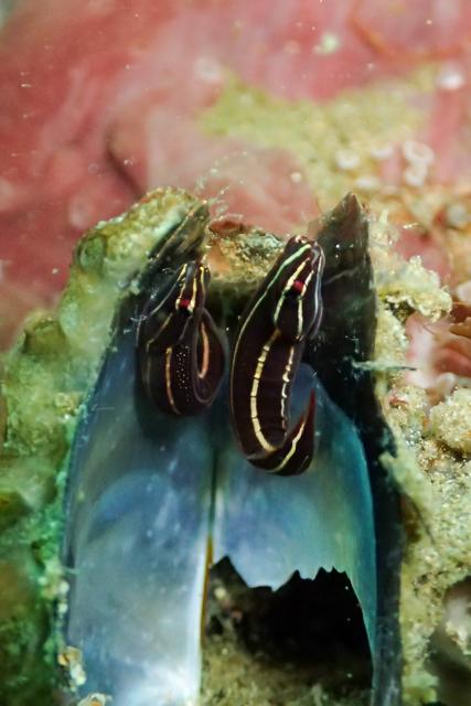 貝殻に棲むウバウオ