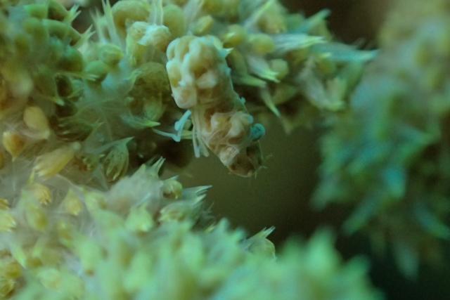 TG3顕微鏡モードマルミカクレモエビ撮影