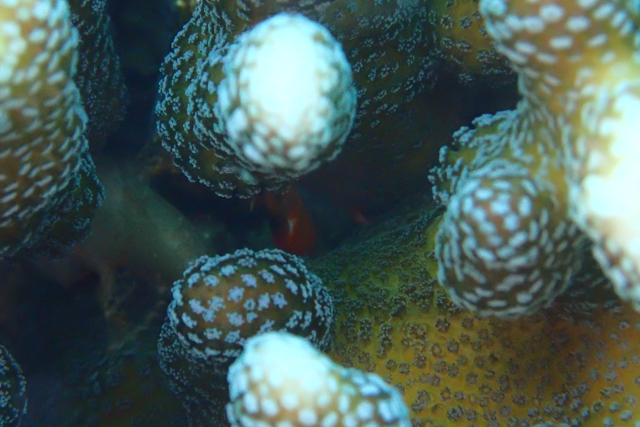 サンゴガニTG3水中マクロモード