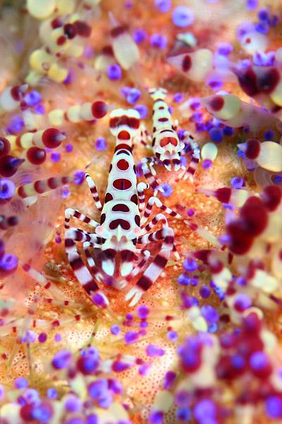 コールマンシュリンプ生態写真
