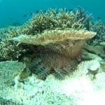 サンゴの下のオニヒトデ