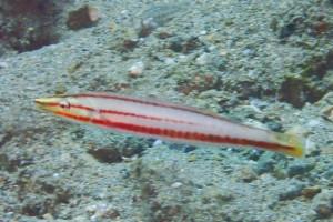 シロタスキベラ若魚
