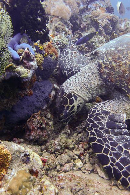 食事中のウミガメ