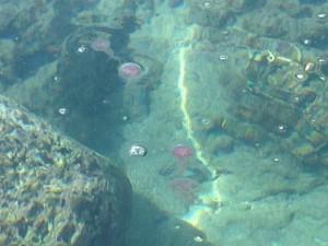 アニラオのクラゲ