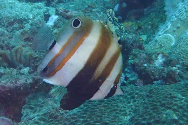 two eyed coral fish