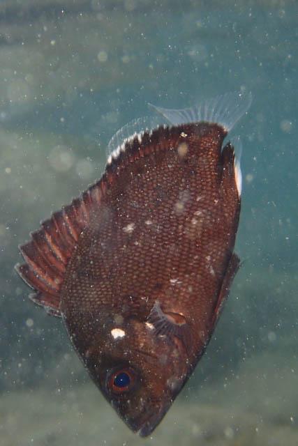 アニラオでヒゲダイ幼魚か