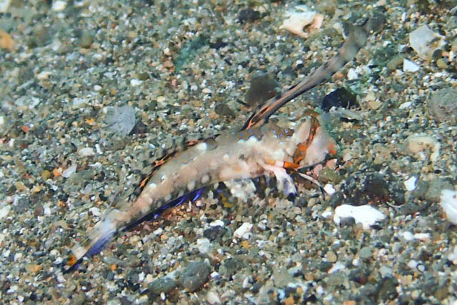 イッポンテグリ幼魚