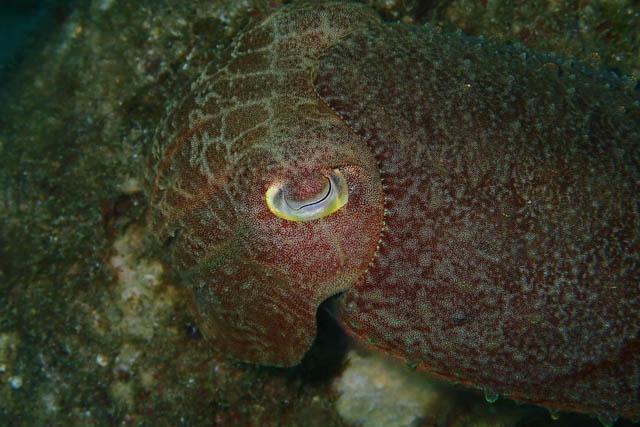 アニラオのコブシメ