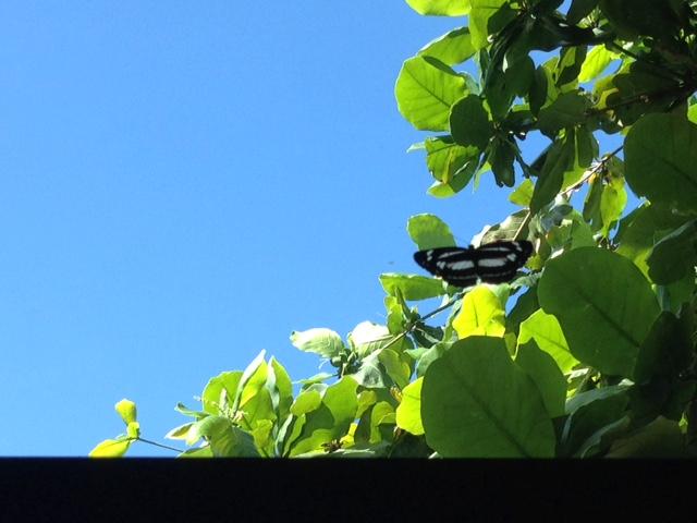 アニラオの蝶