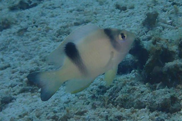 ホワイトダムゼル若魚