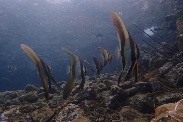 ツバメウオ幼魚