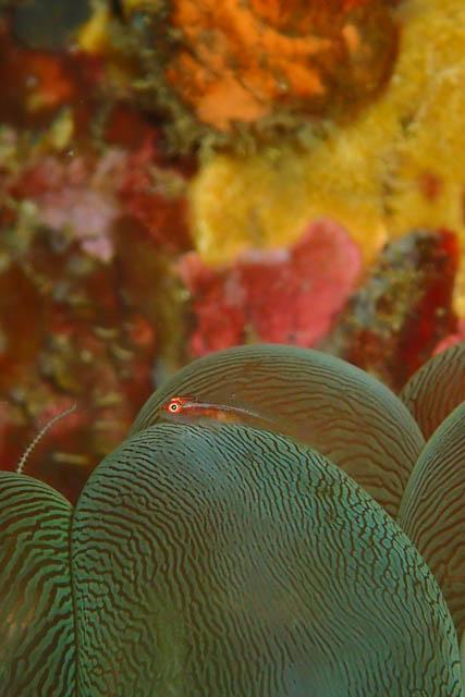 ミズタマサンゴのハゼ