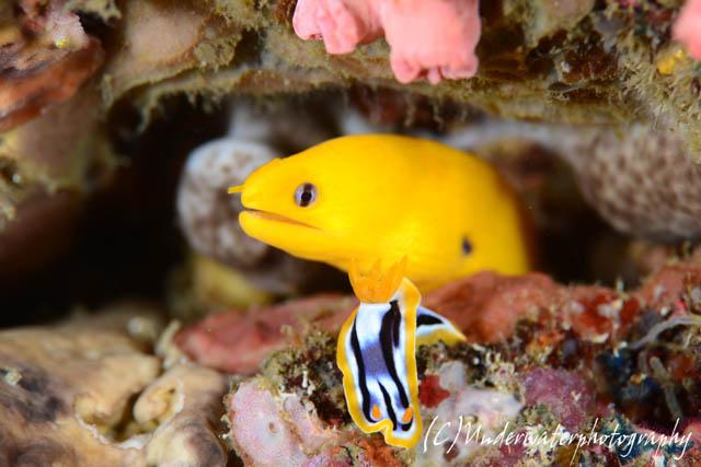 黄色のヒメウツボ