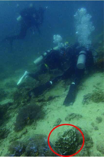 ダイバーの足元のウンバチイソギンチャク