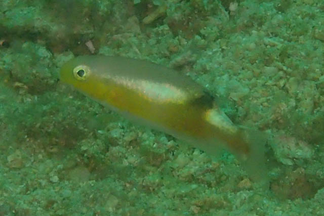 クラカケベラ幼魚