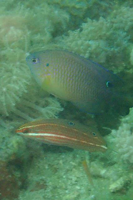 ニシキキュウセン幼魚