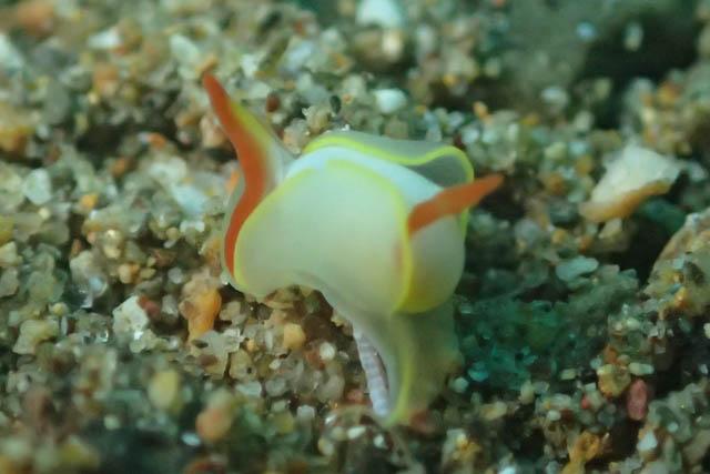 アニラオの海胡蝶の仲間