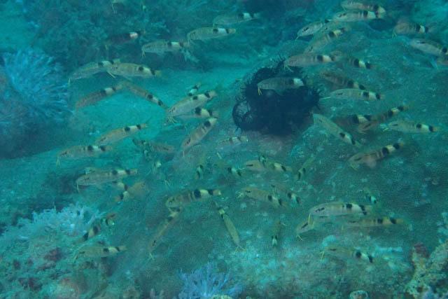 オジサンの幼魚の群れ