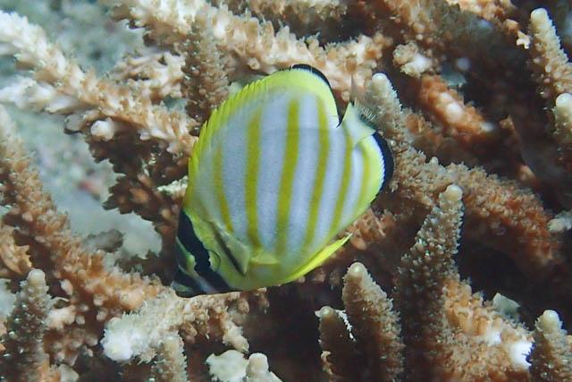 アニラオのハナグロチョウチョウウオ幼魚