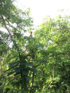 釈迦頭の木