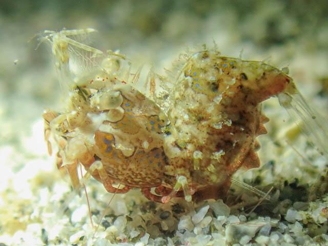 アニラオのサガミツノメエビ