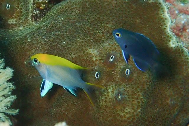 クロスズメ幼魚