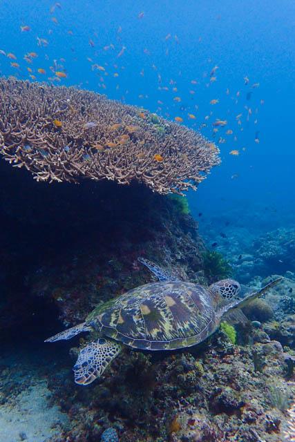 アニラオのアオウミガメ