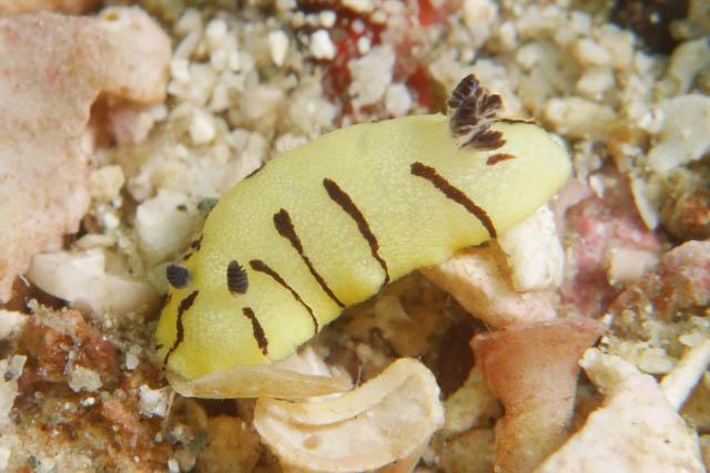 アニラオのウミウシ