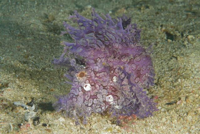 アニラオのボロカサゴ紫