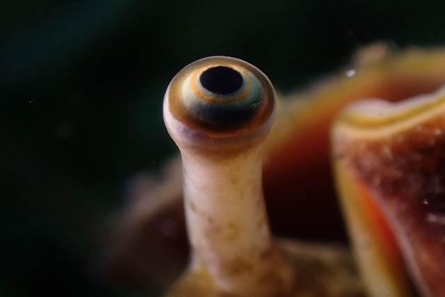 貝類の目玉